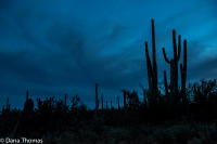 Nightwatch, Saguaro National Park